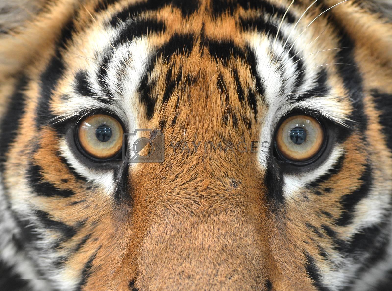 Royalty free image of bengal tiger eyes by anankkml