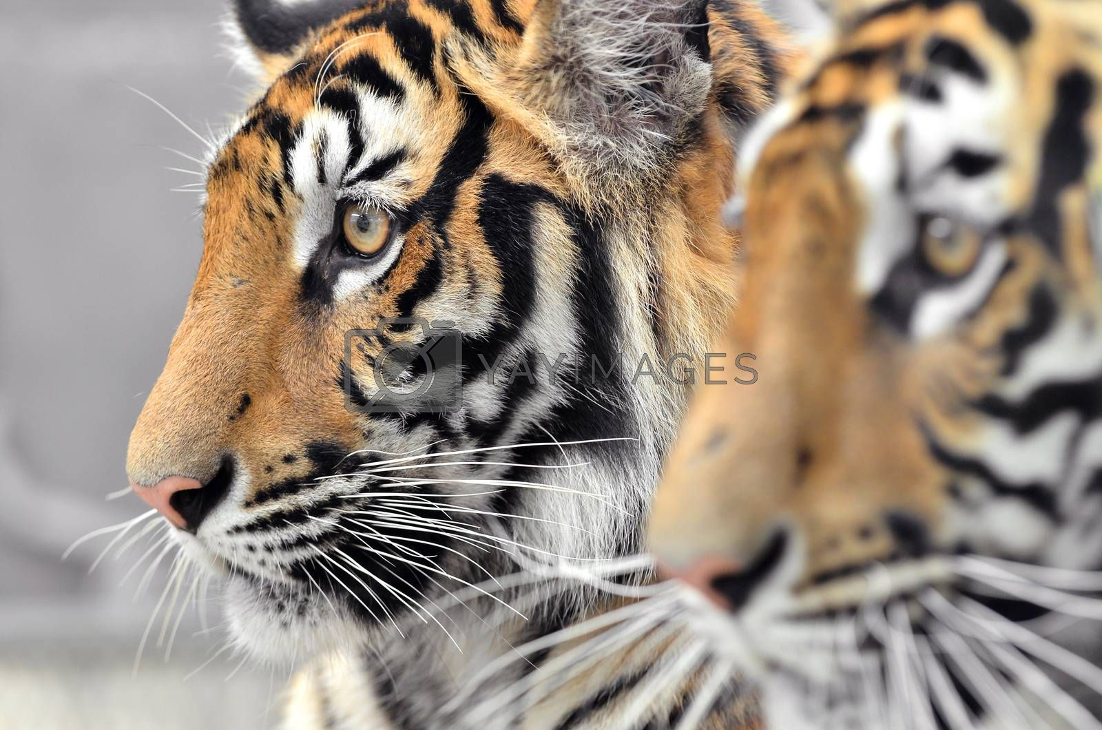 Royalty free image of bengal tiger face by anankkml