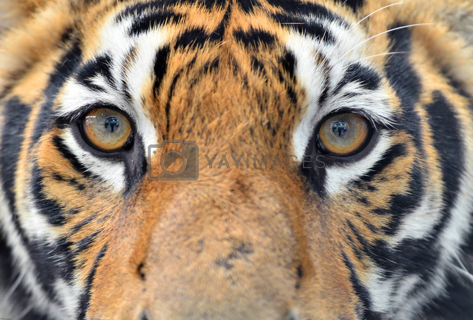Royalty free image of bengal tiger eyes by anankkml