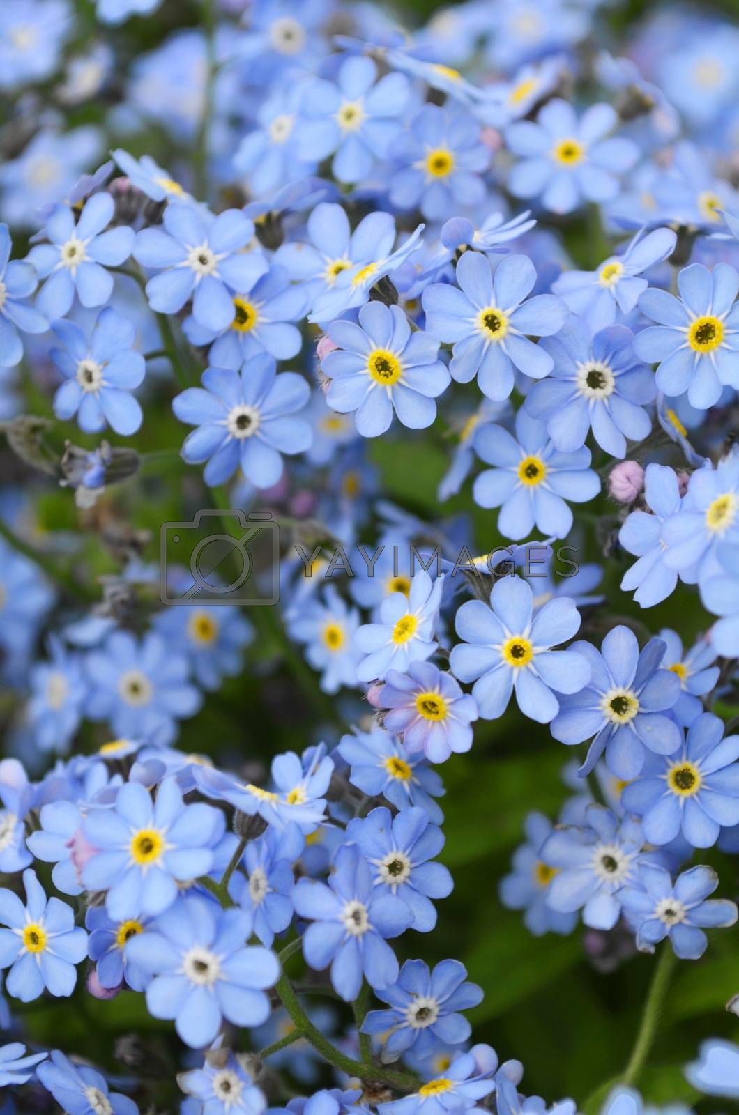 Royalty free image of Blue forget me not flowers by lorena1306