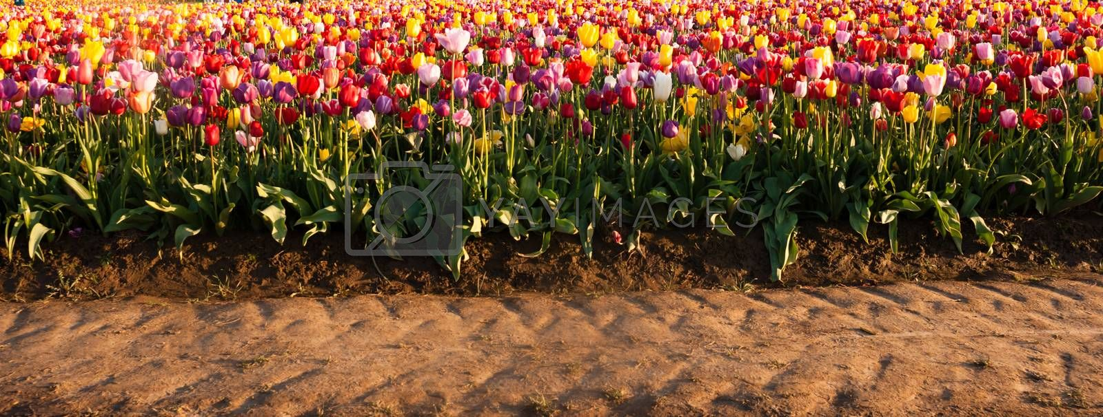Royalty free image of Neat Rows Tulips Colorful Flowers Farmer's Bulb Farm Tractor Path by ChrisBoswell