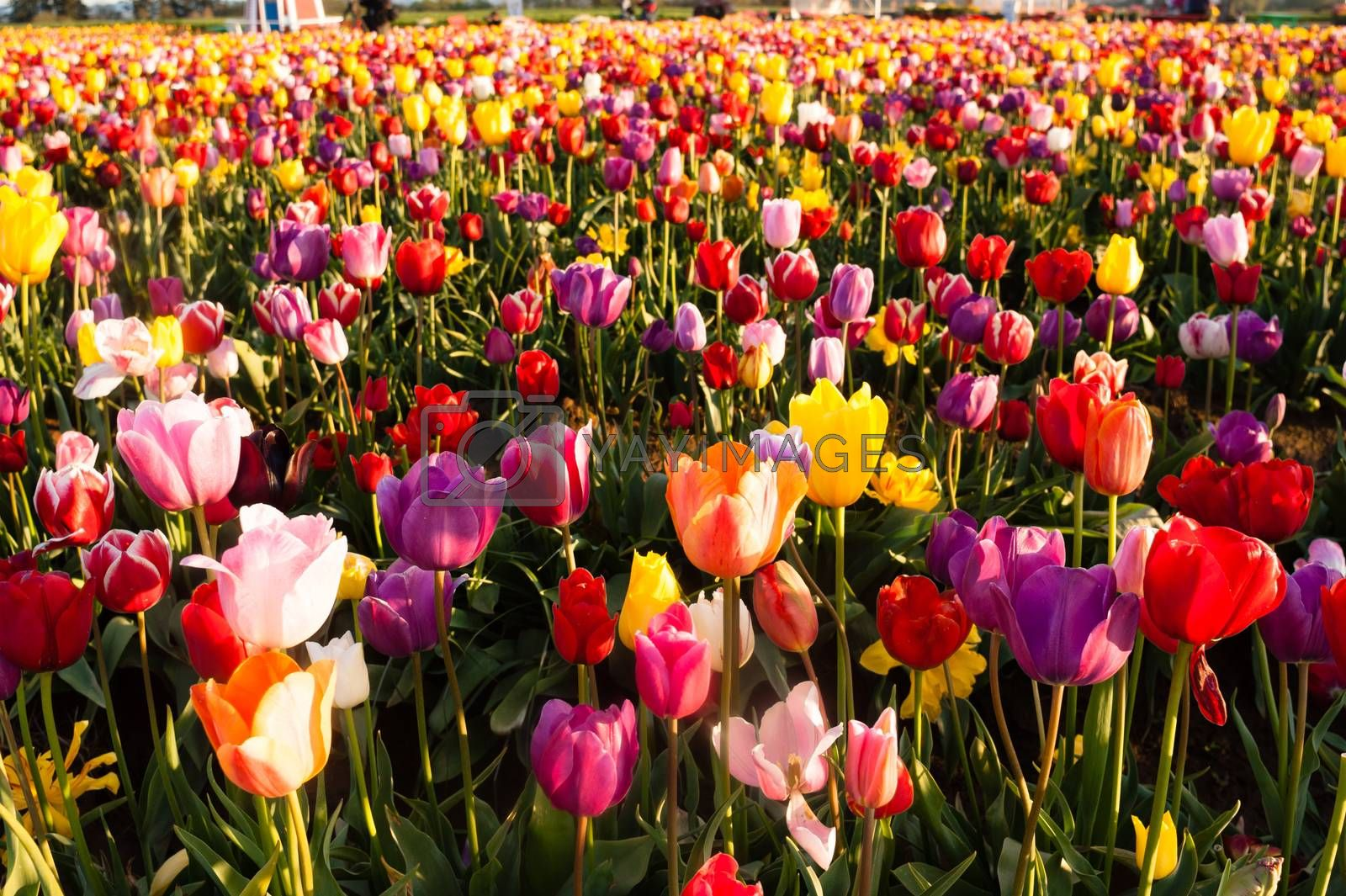 Royalty free image of Neat Rows Tulips Colorful Flower Petals Farmer's Bulb Farm by ChrisBoswell