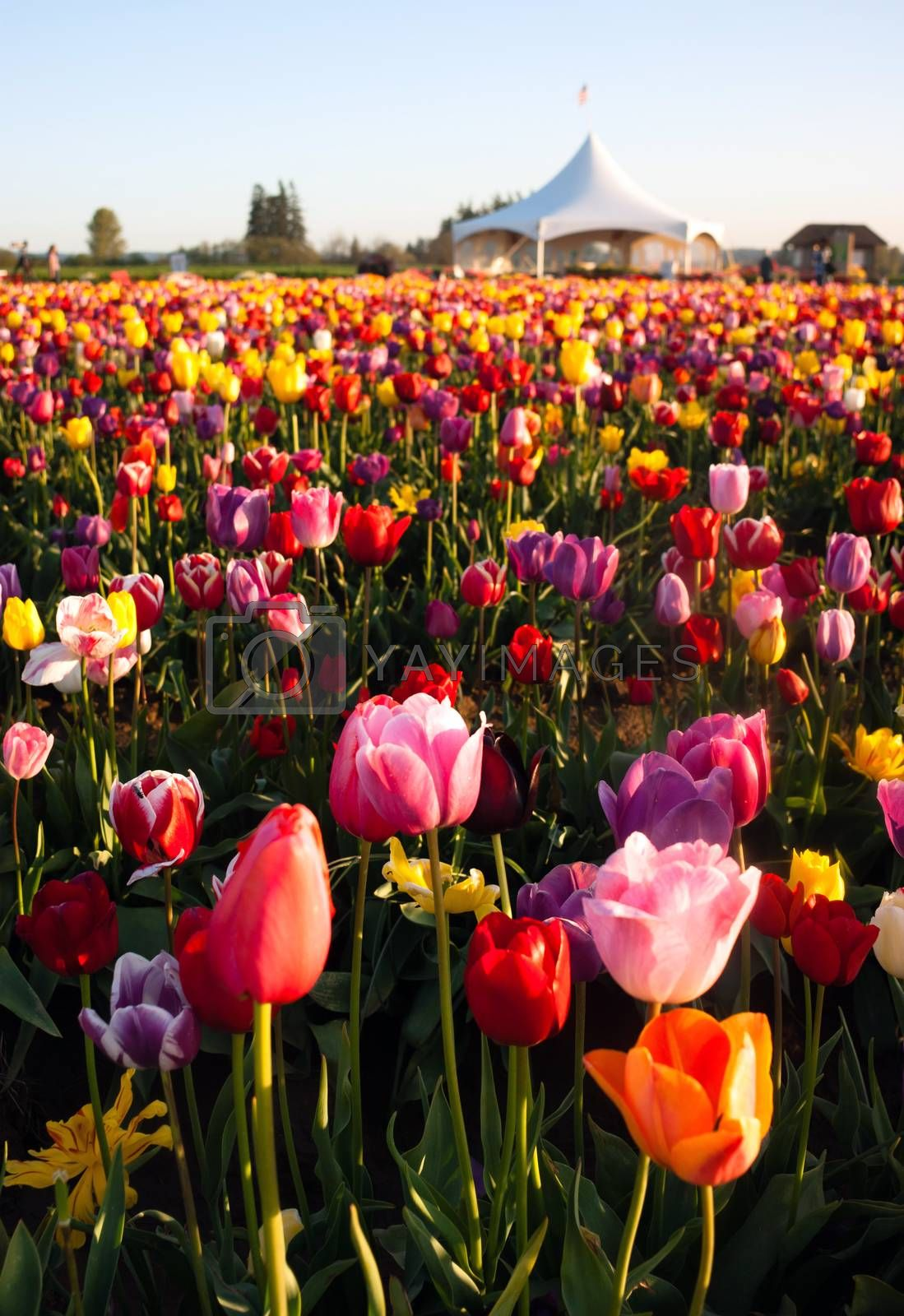 Royalty free image of Neat Rows of Tulips Colorful Flowers Farmer's Bulb Farm by ChrisBoswell