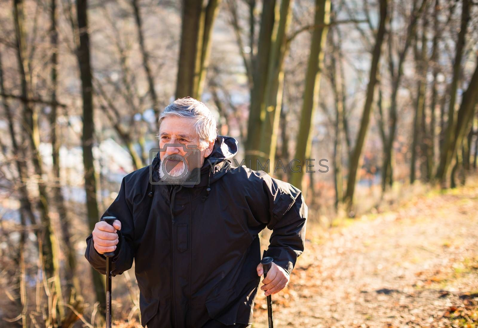 Royalty free image of Senior man nordic walking by viktor_cap