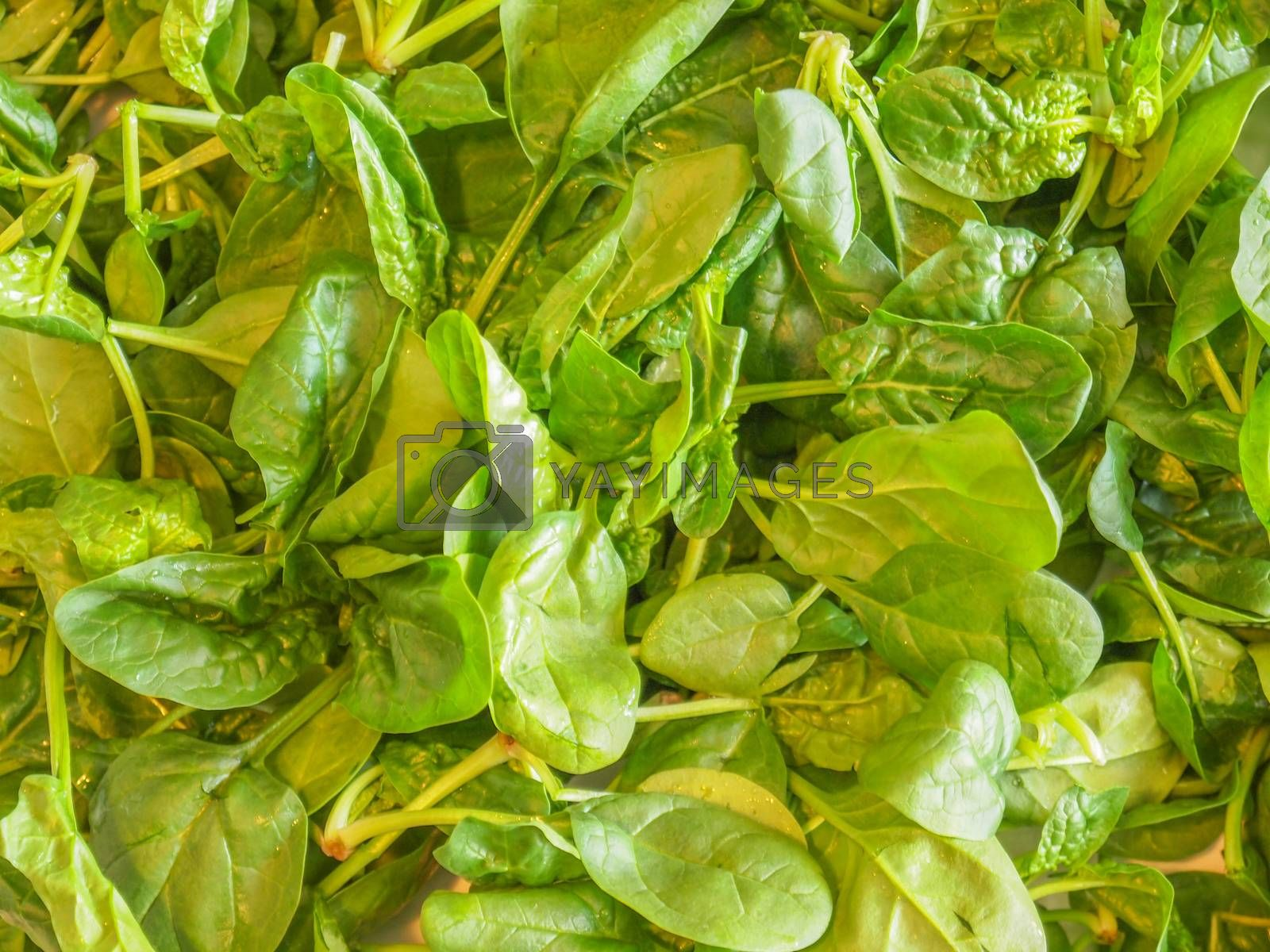 Royalty free image of Spinach leaves by claudiodivizia