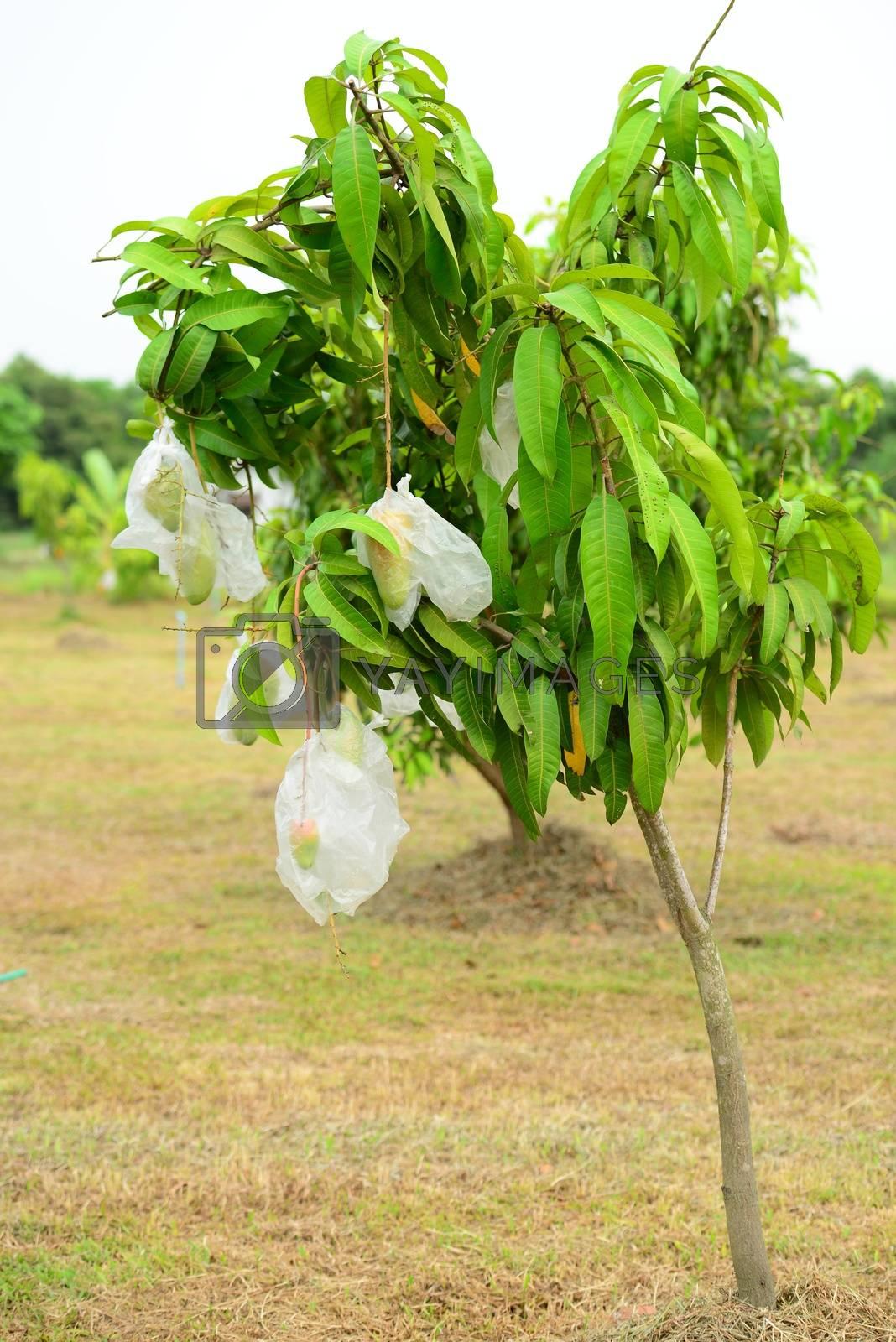 Mango Tree by antpkr