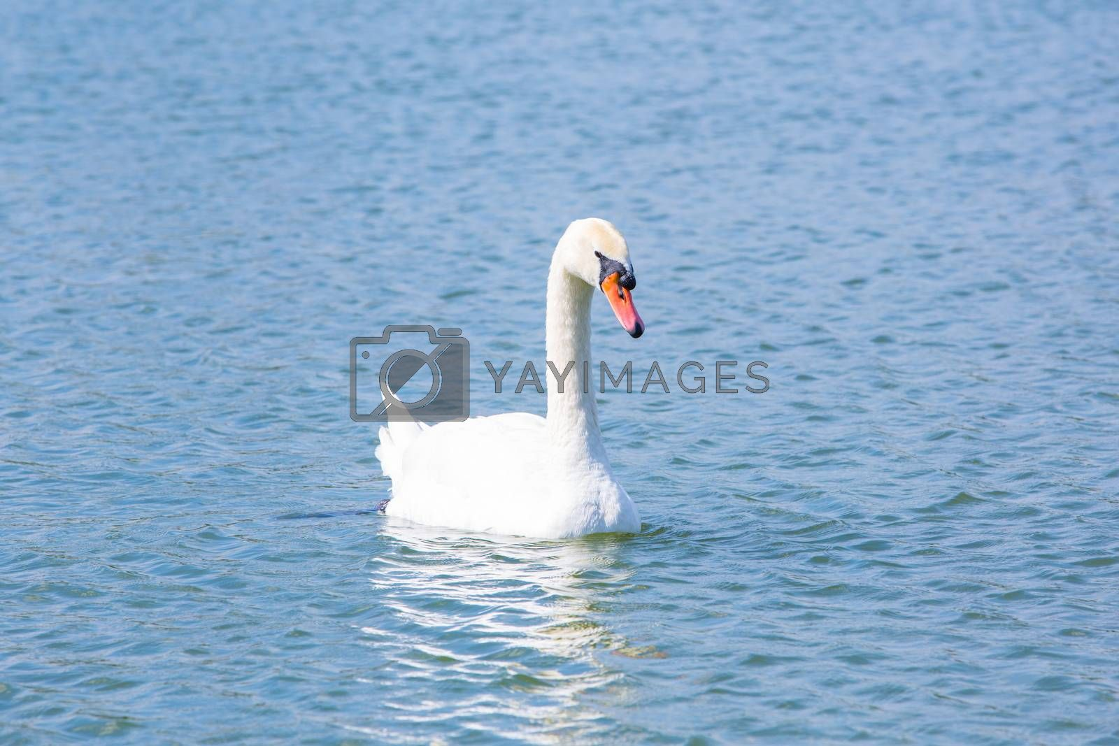 Royalty free image of Swan by tuchkay