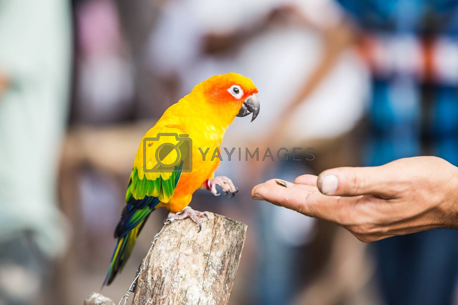 Royalty free image of  parrot by tuchkay