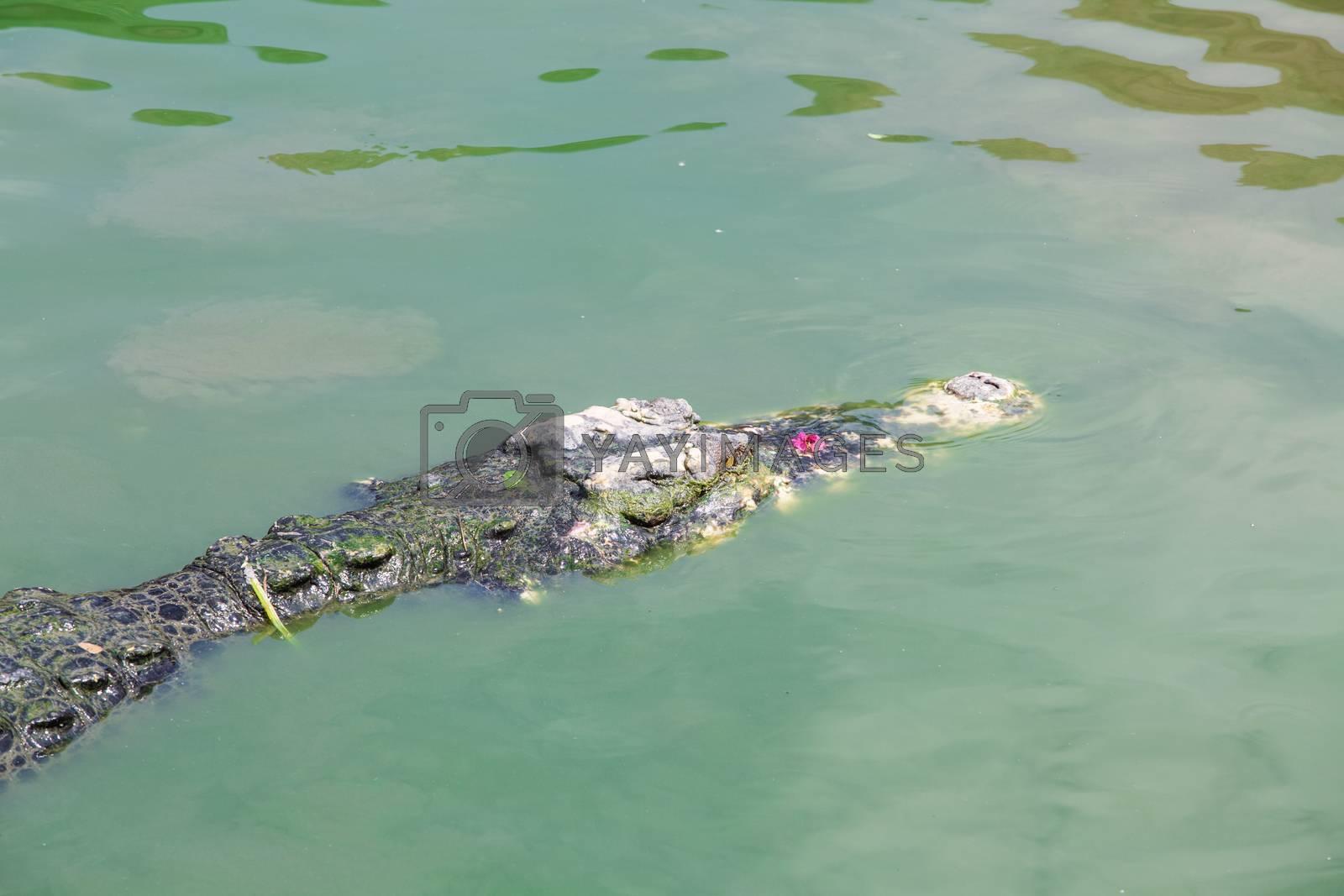 Royalty free image of crocodiles by tuchkay