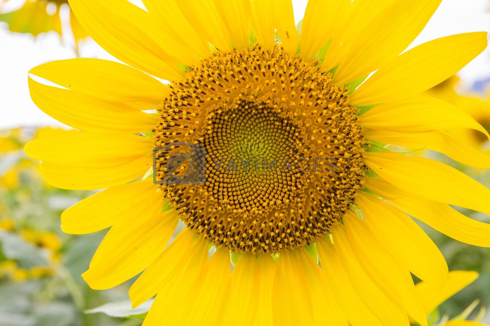 Royalty free image of Sunflower by tuchkay