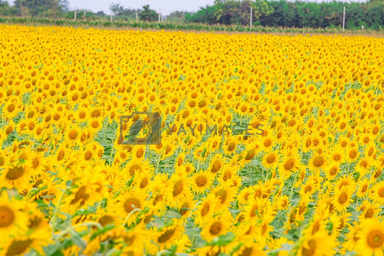 Sunflower by tuchkay