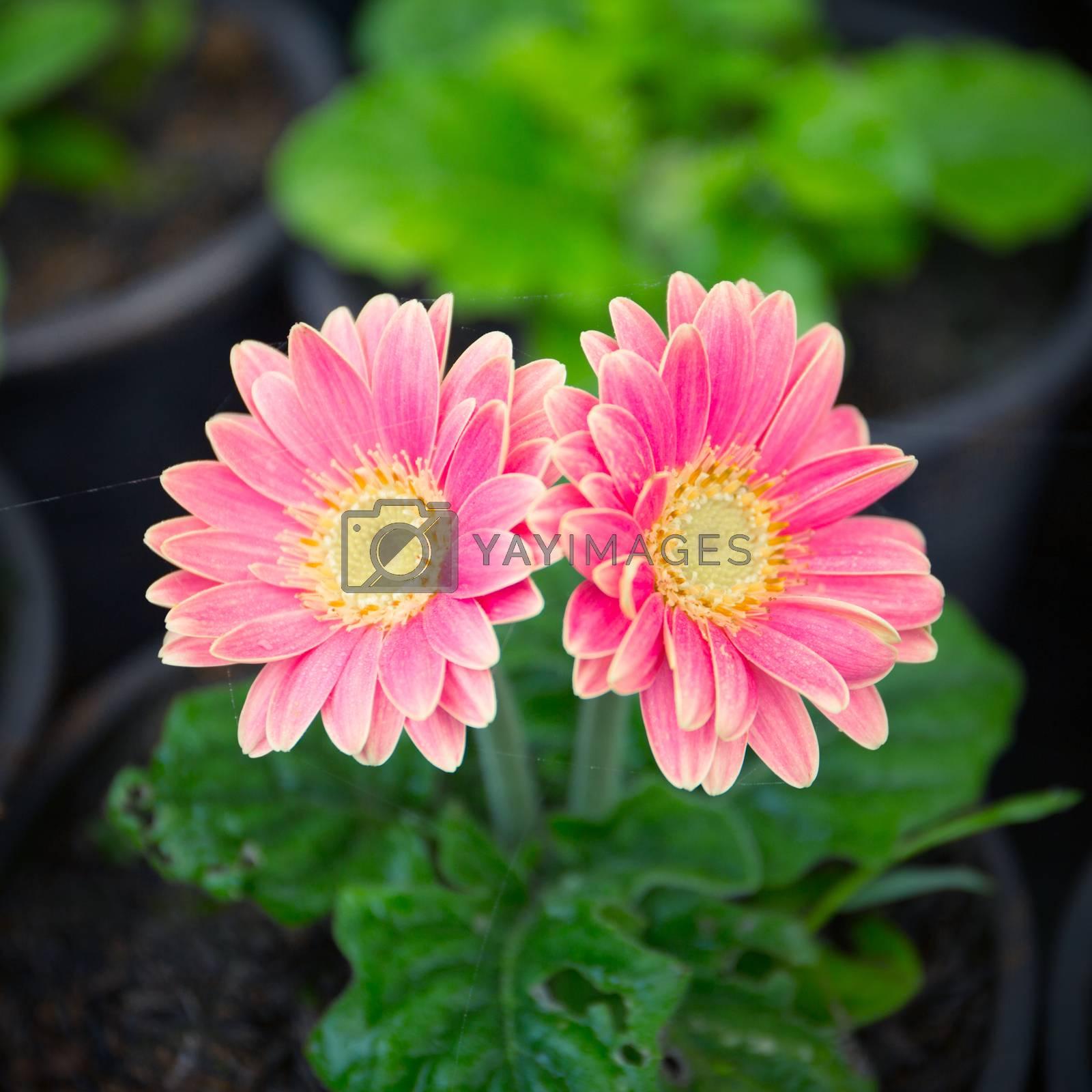 Royalty free image of Pink gerbera by tuchkay