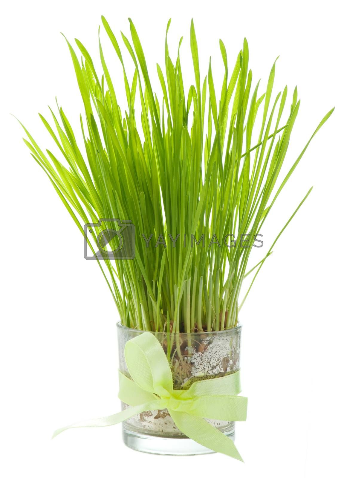 Green grass in a glass tied with a ribbon isolated on white