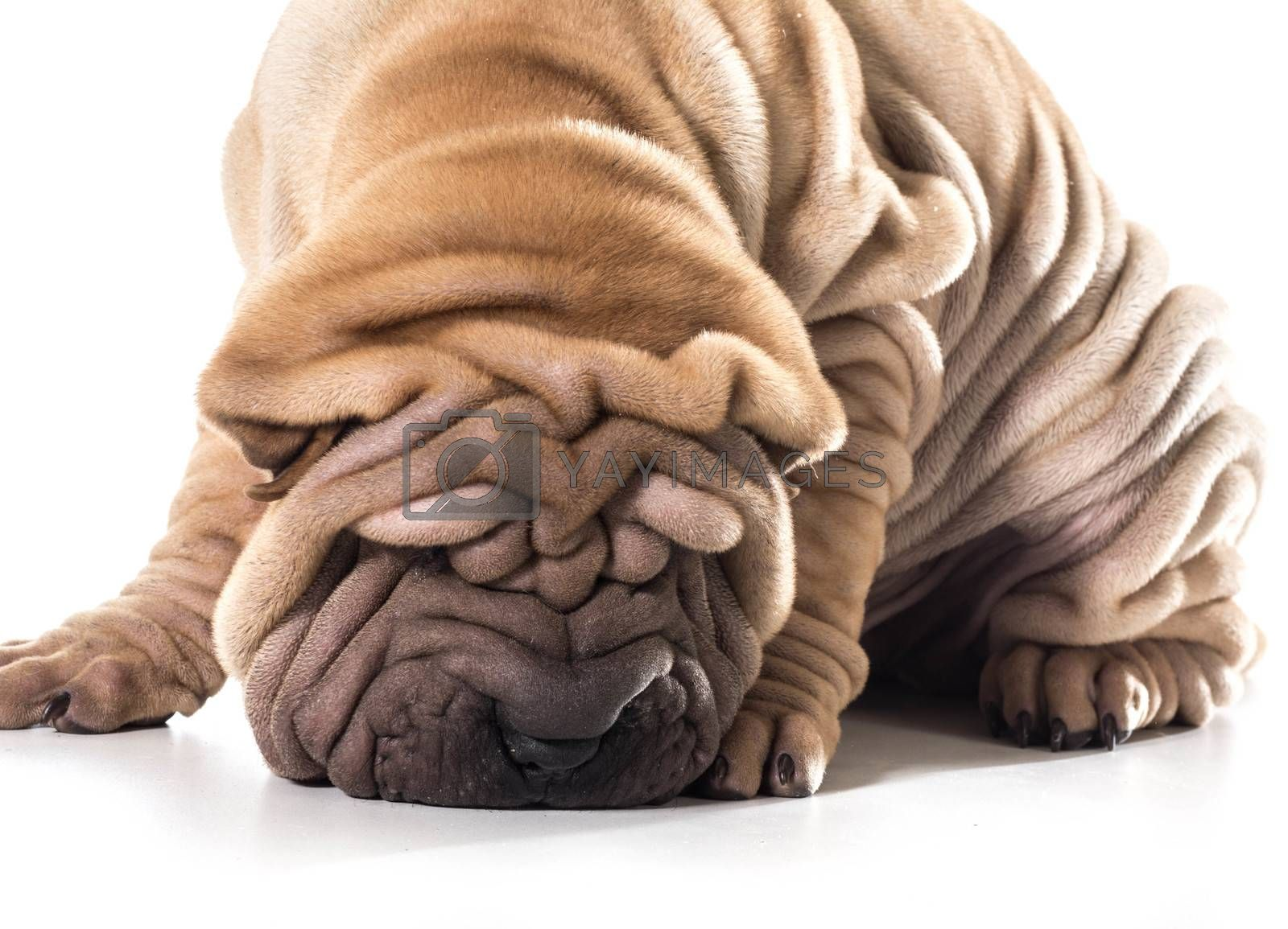 chinese shar pei sniffing the ground isolated on white background