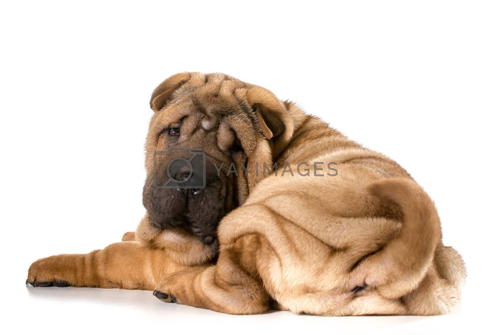 chinese shar pei puppy laying down looking at viewer isolated on white background - 4 months old