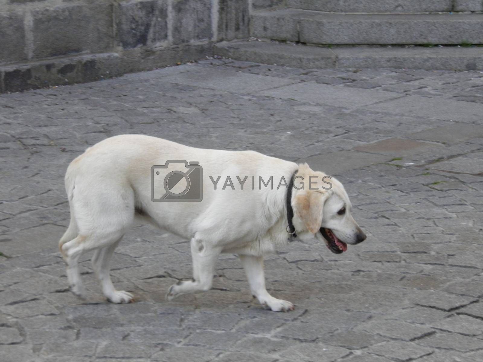 labrador retriever five or six years old