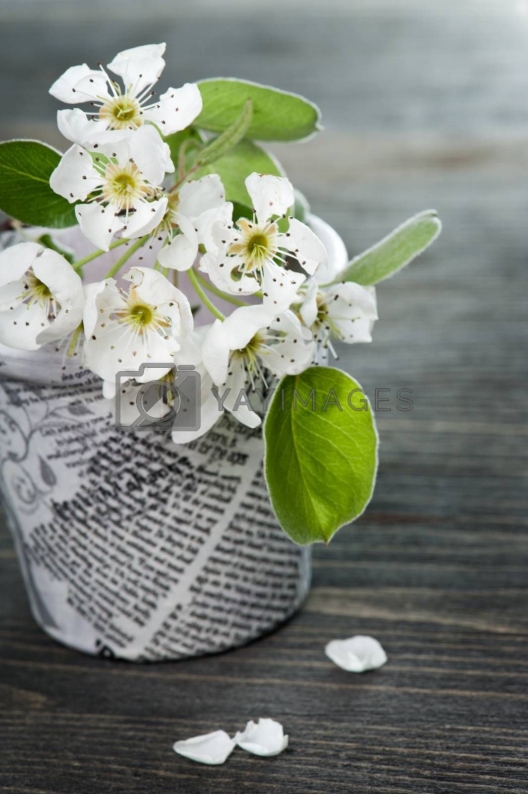 Cherry blossom and petals in a news paper on a dark wooden background