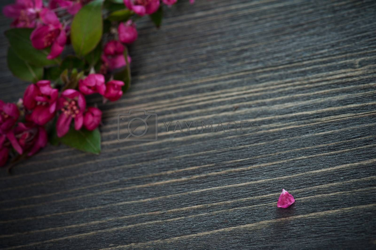 Pink  blossom and a  petal on a dark wooden background. Shallow depth of field