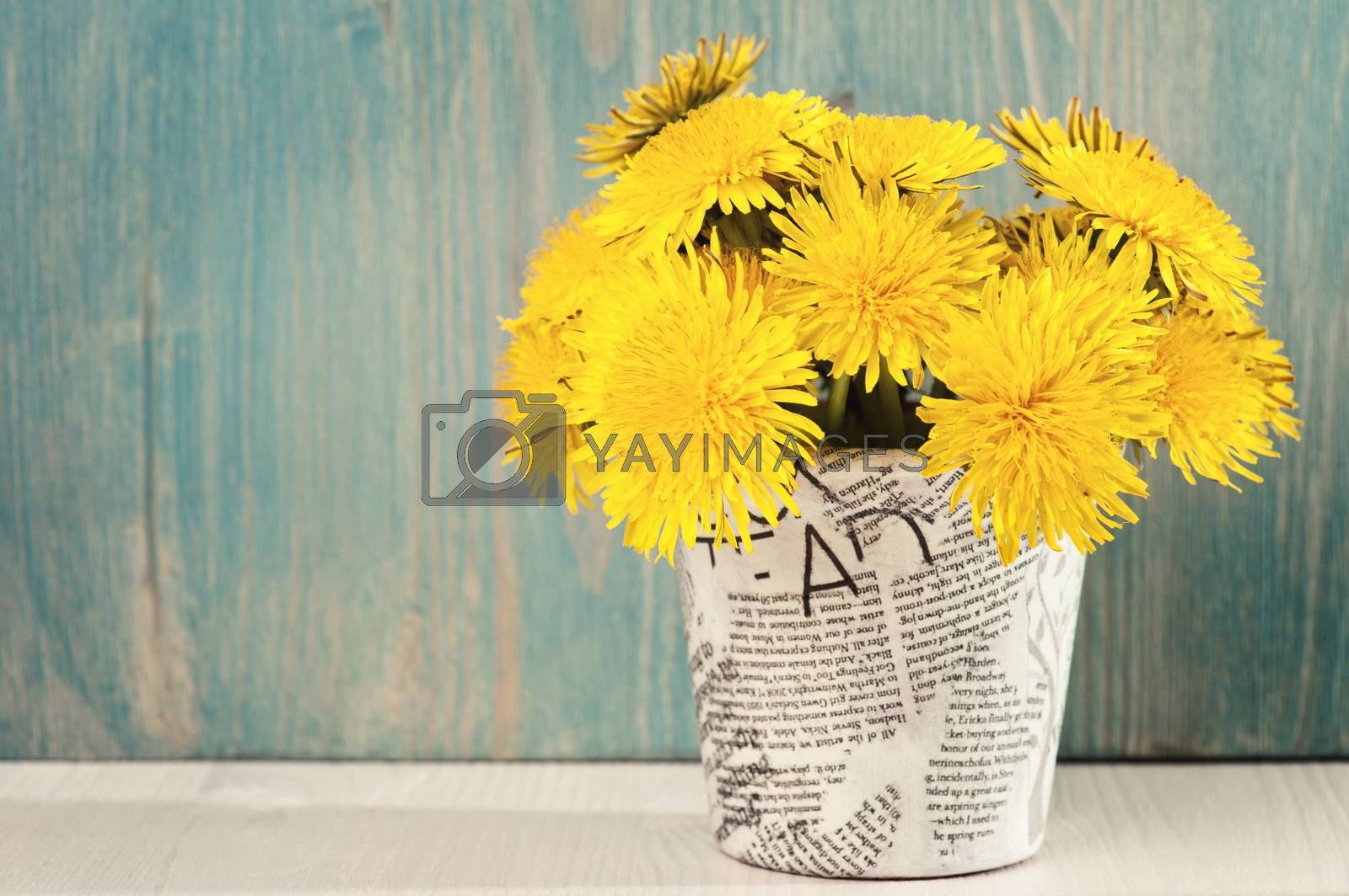 Dandelions in a news paper pot on a white blue wooden background