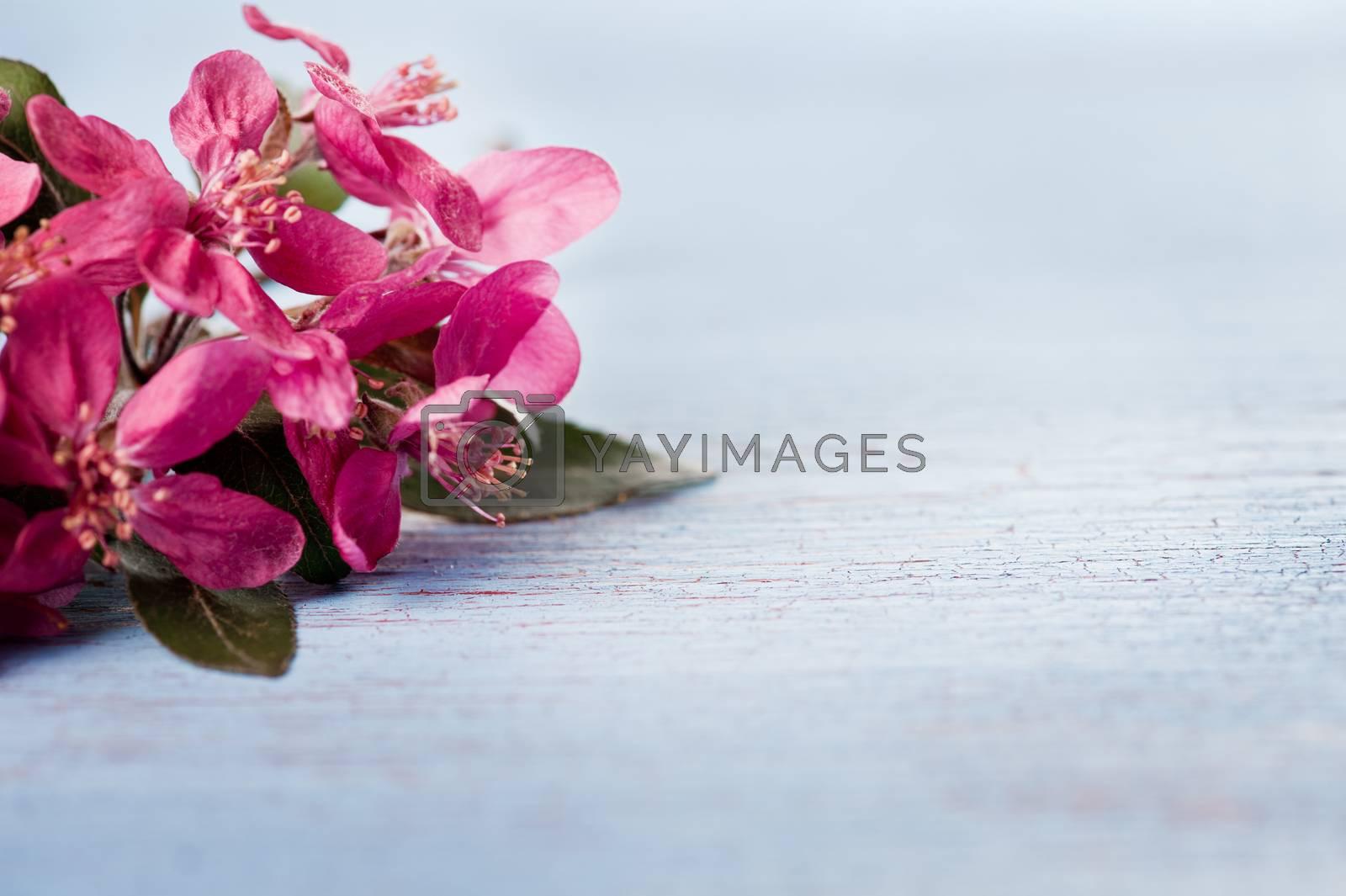 Purple japanese plum blossoms on shabby blue background