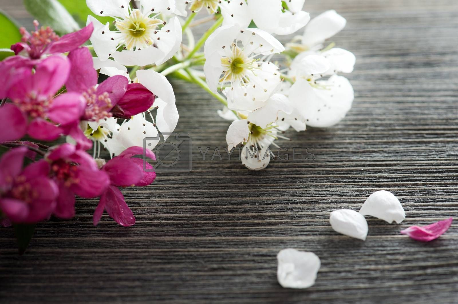 Pink and white blossom on a dark wooden background