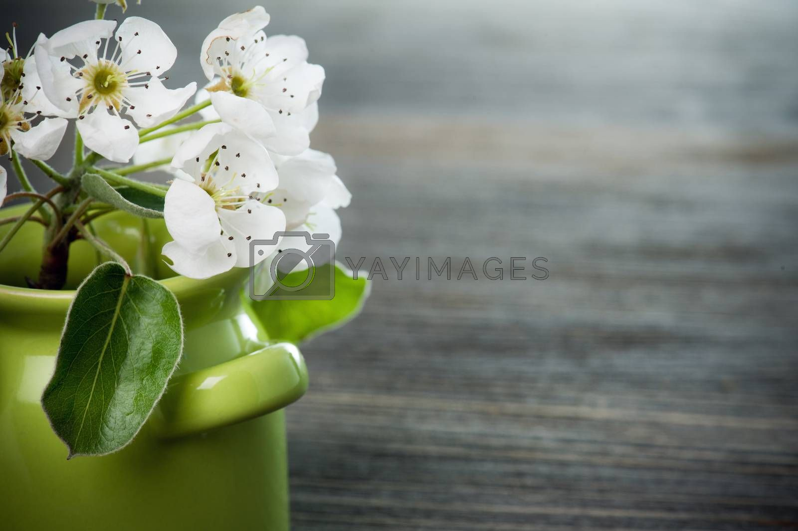 White cherry blossom in a green pot on dark wooden background