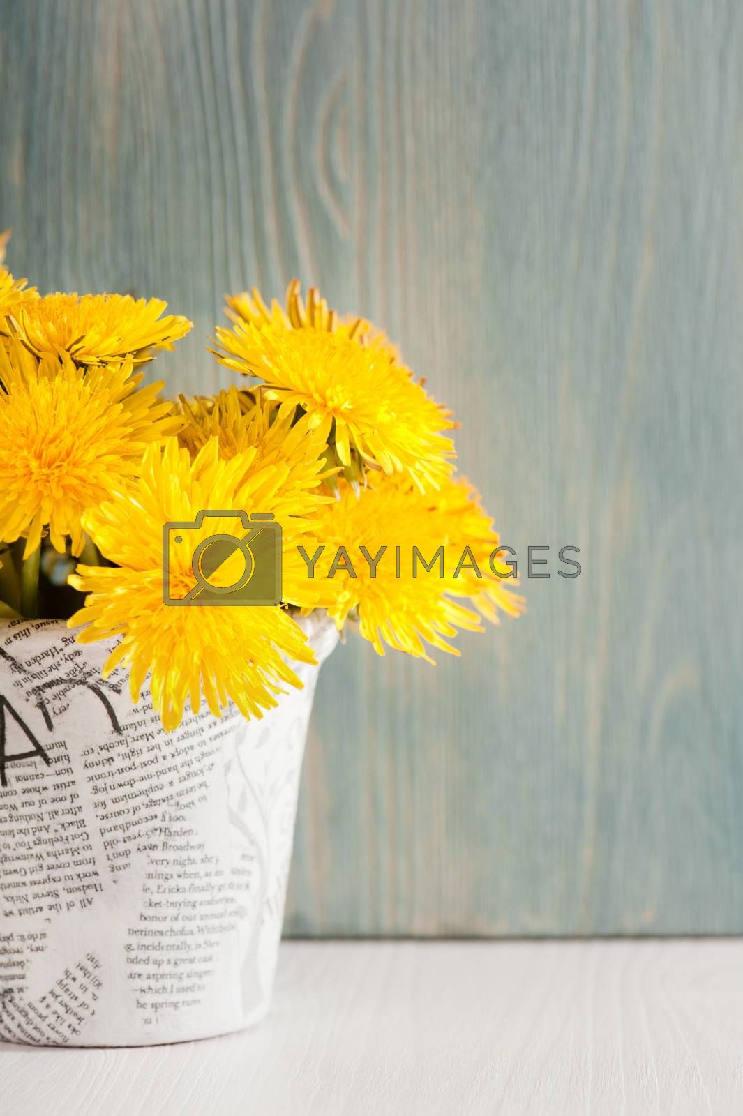 Dandelions in a news paper pot on white blue wooden background