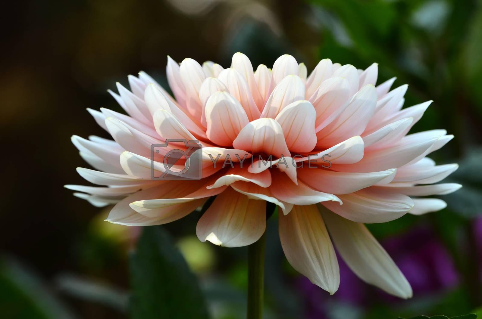 dahlia flower by anankkml