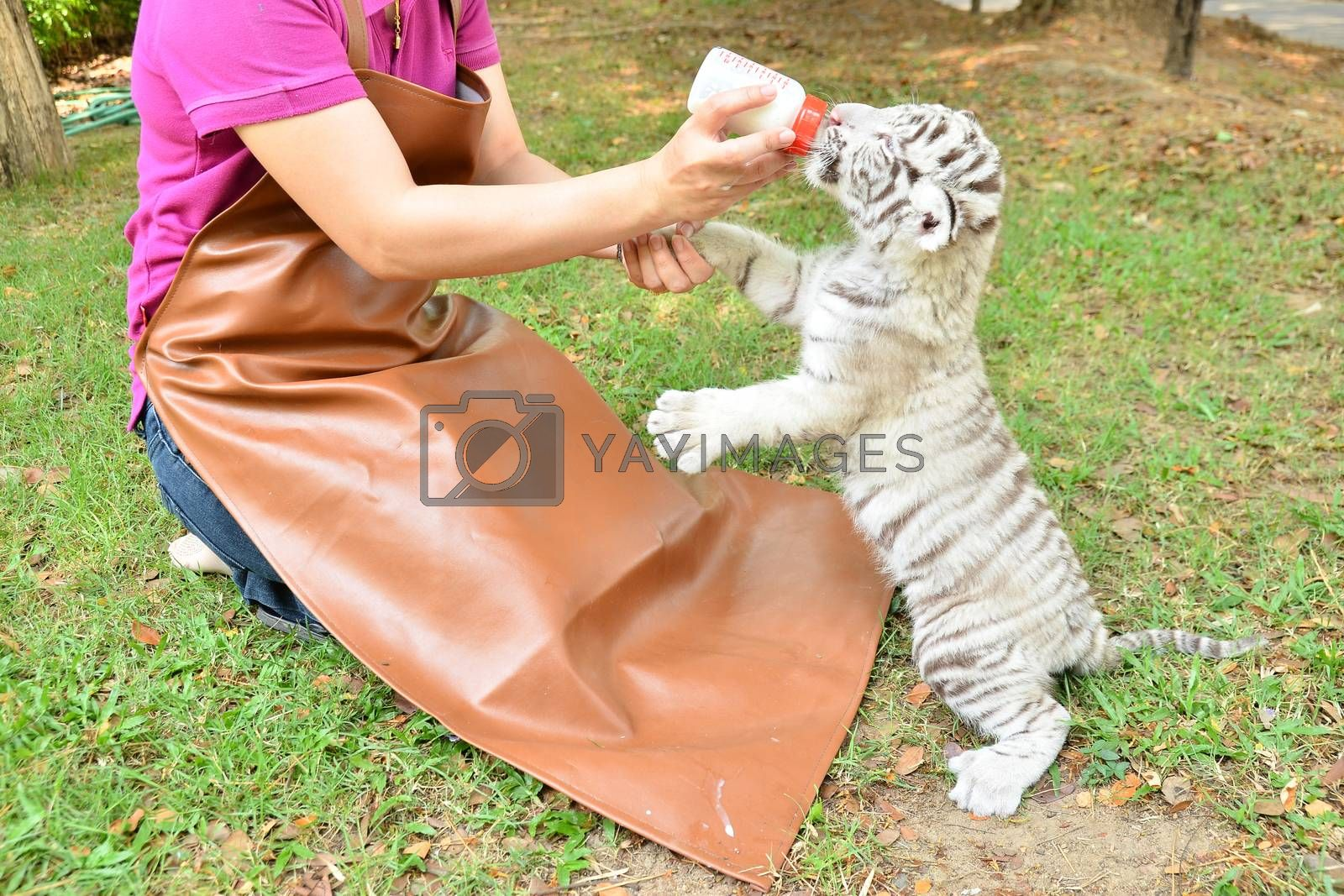 zookeeper feeding baby white tiger by anankkml