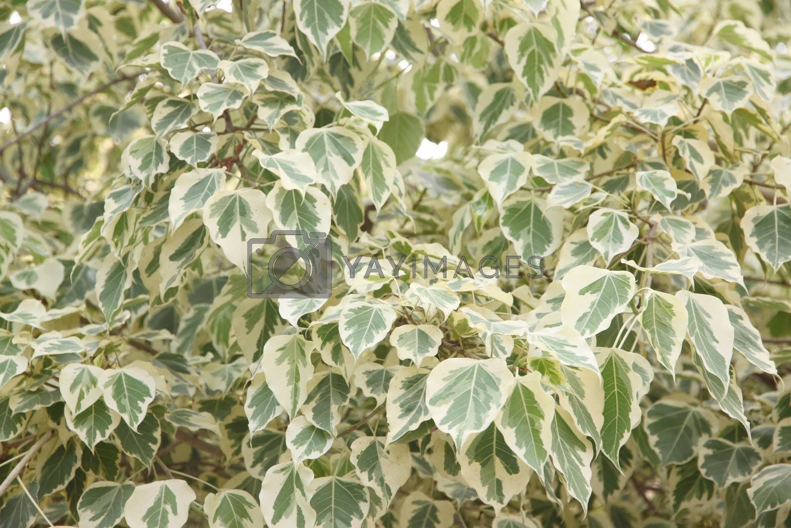 Euonymus fortunei,The tree of two color on leaves. by meepoohyaphoto