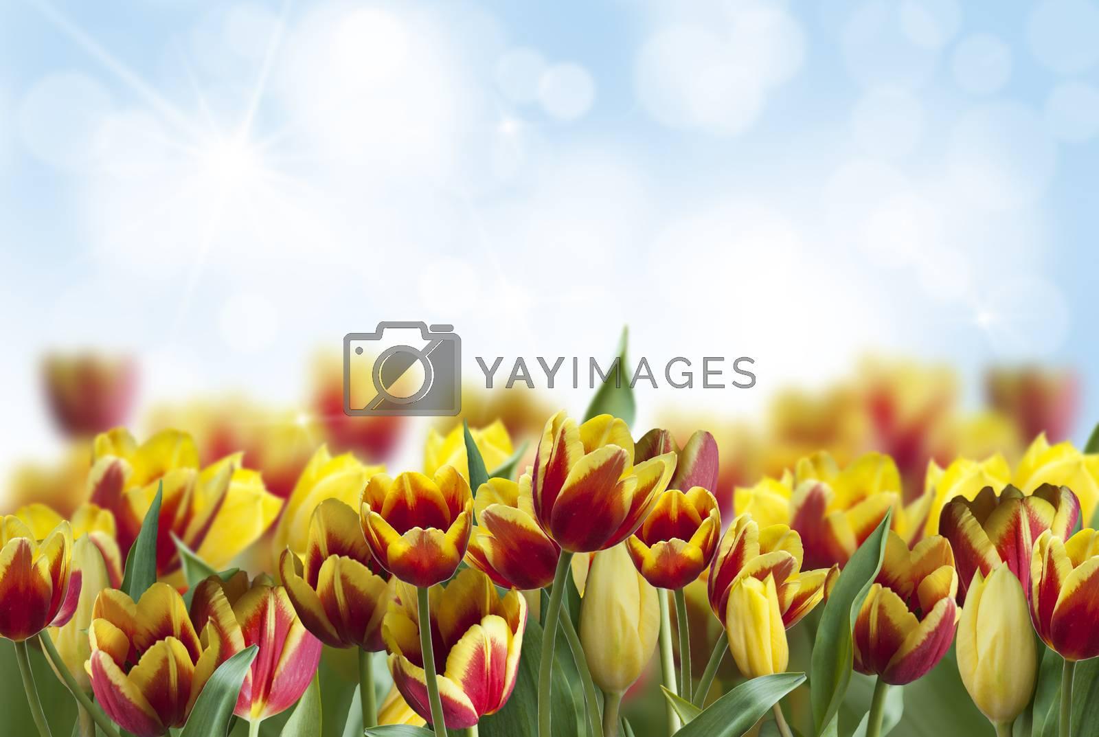 tulips in garden  by raduga21