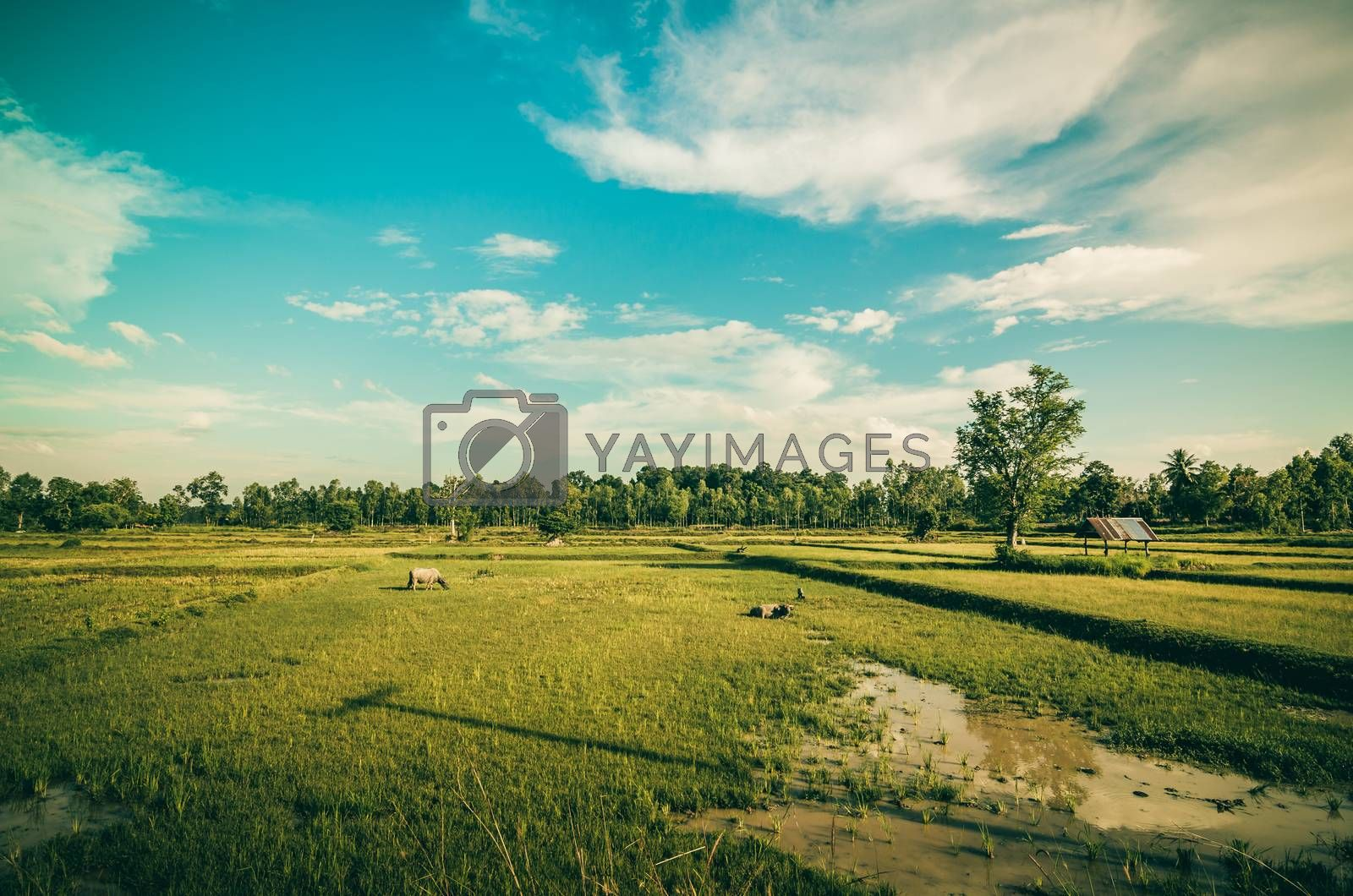 Rice field by sweetcrisis