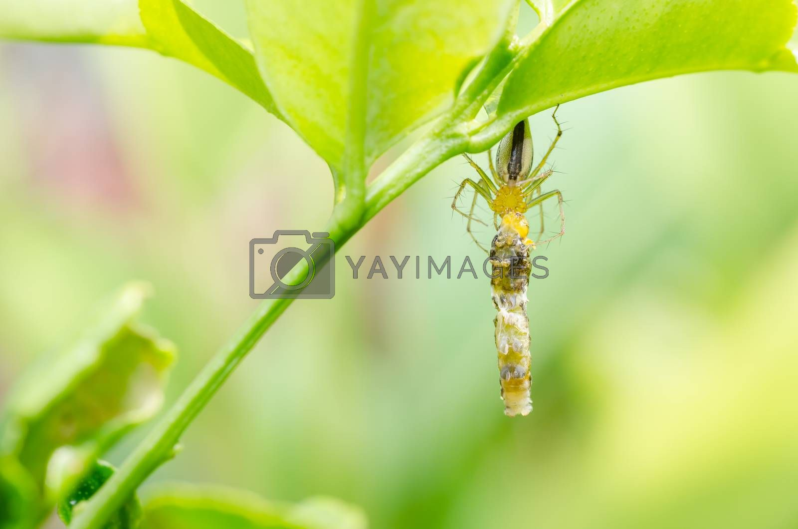 Spider eat worm in green nature background by sweetcrisis