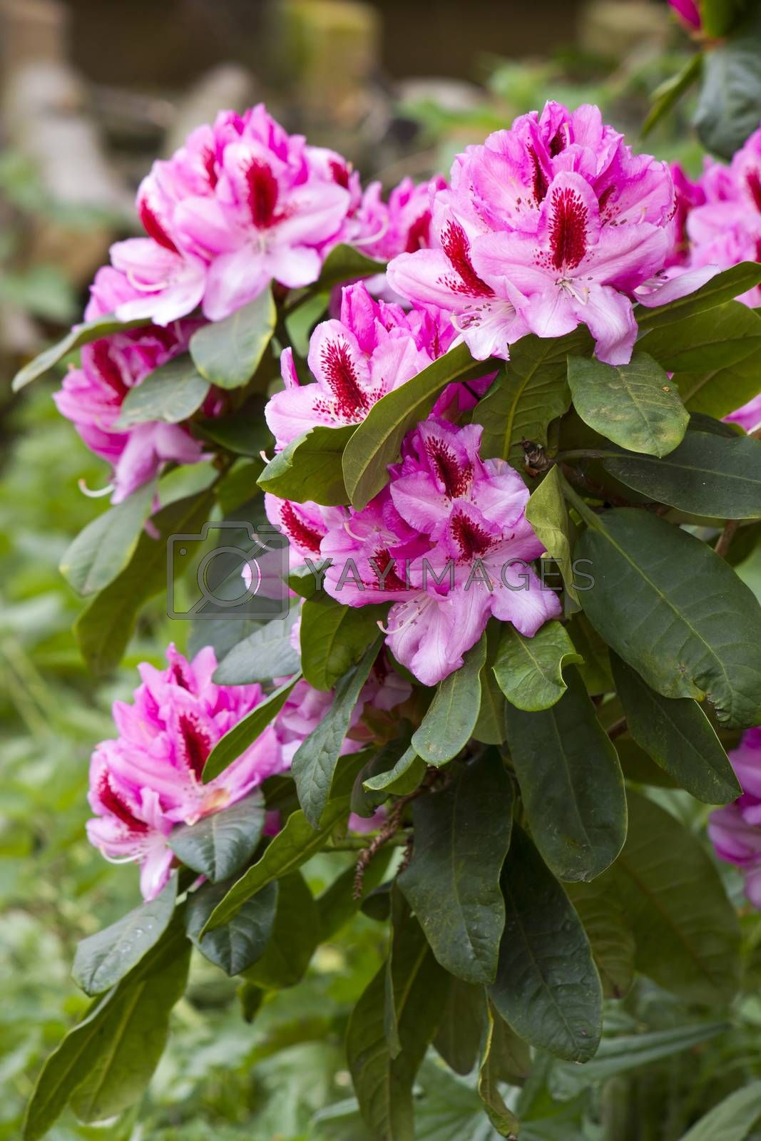 Royalty free image of rhododendron by miradrozdowski