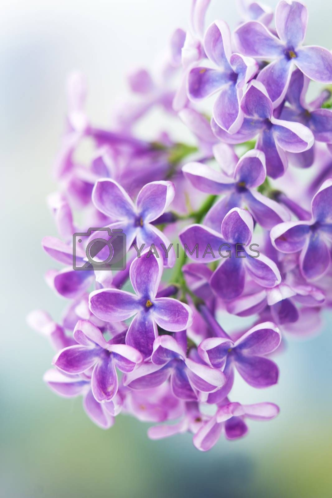 Royalty free image of Blooming lilac flowers by miradrozdowski