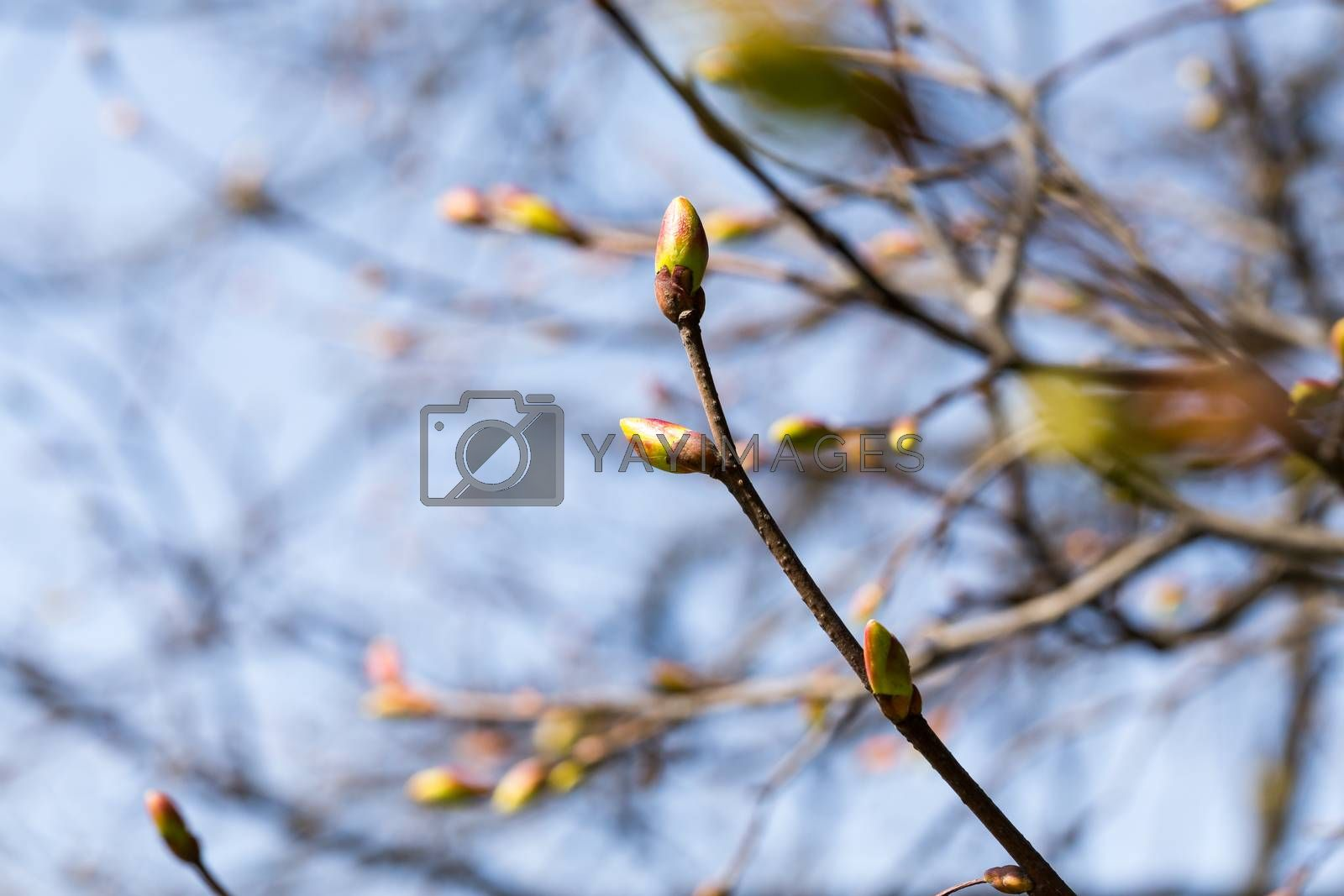Royalty free image of Buds on a tree by RTsubin
