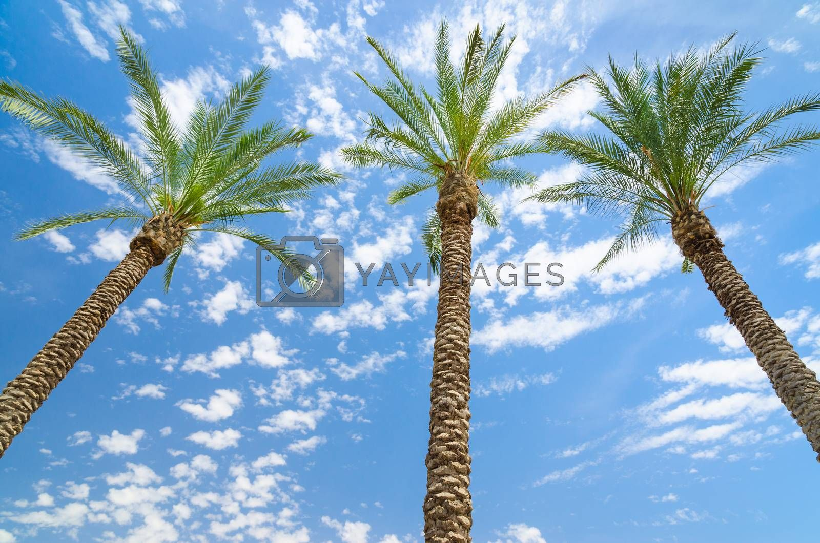 Royalty free image of Three date palms against deep blue sky by servickuz