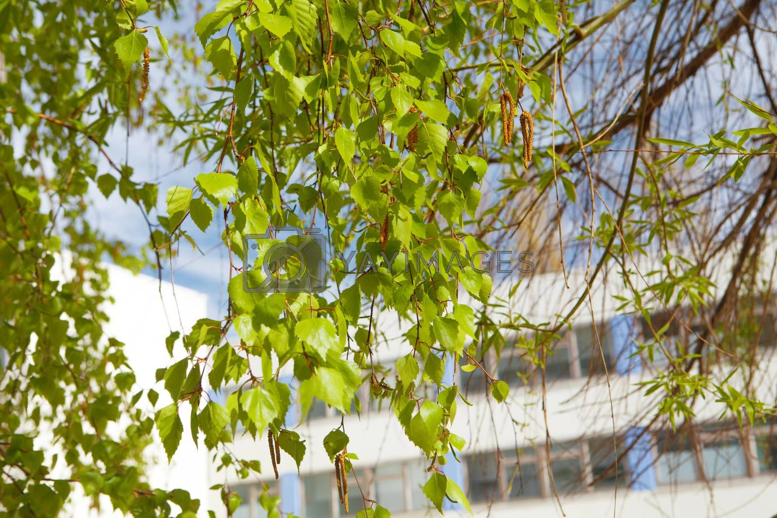 green birch in spring and building