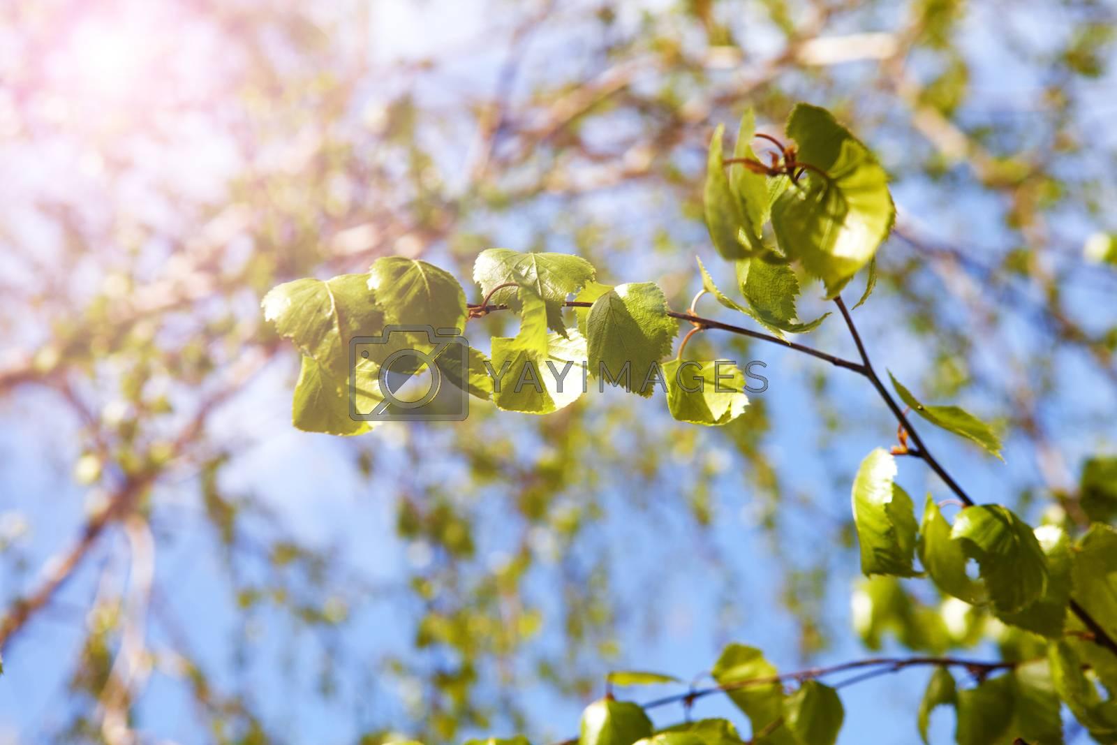green branch of birch in sunlight
