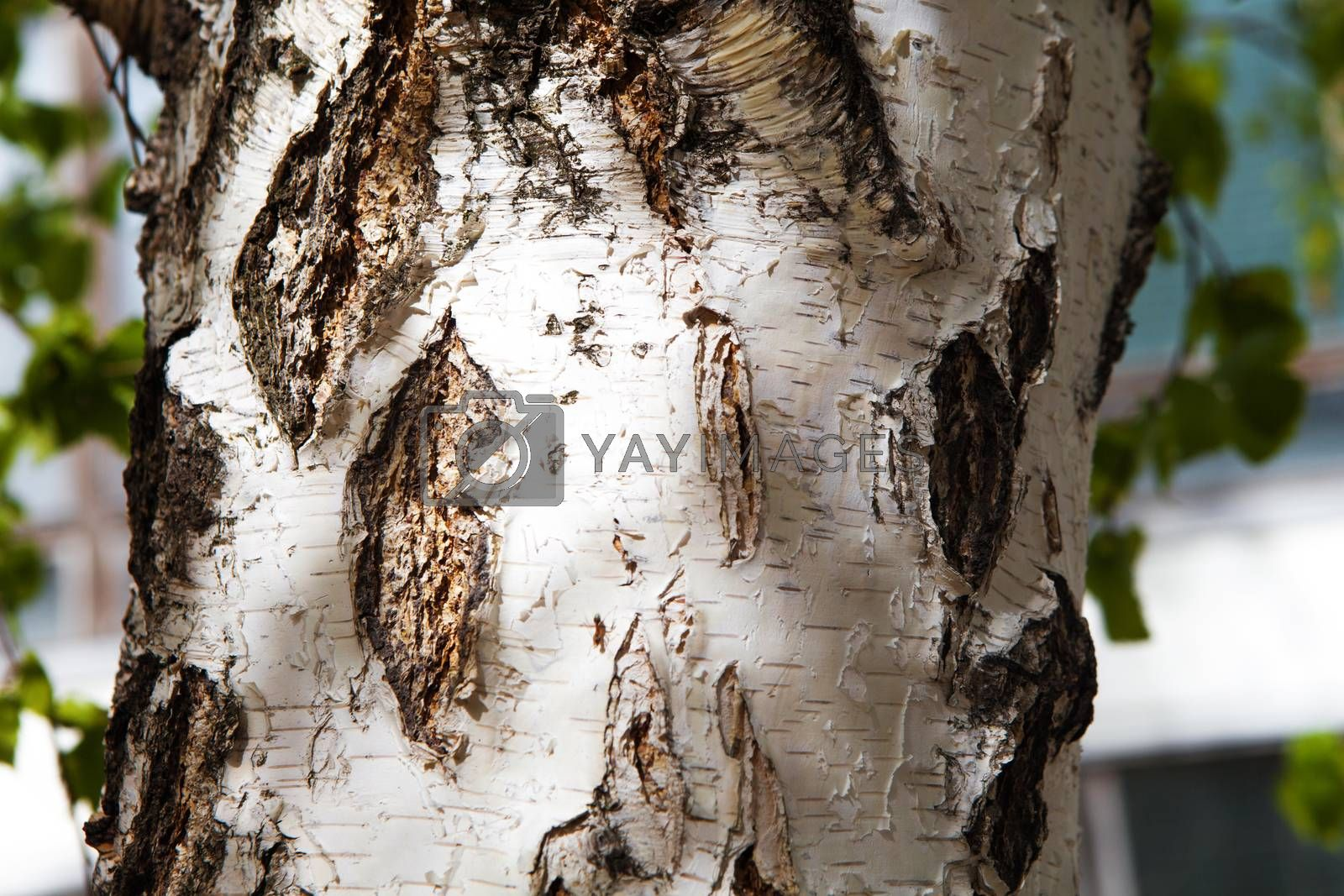 background of a birch bark