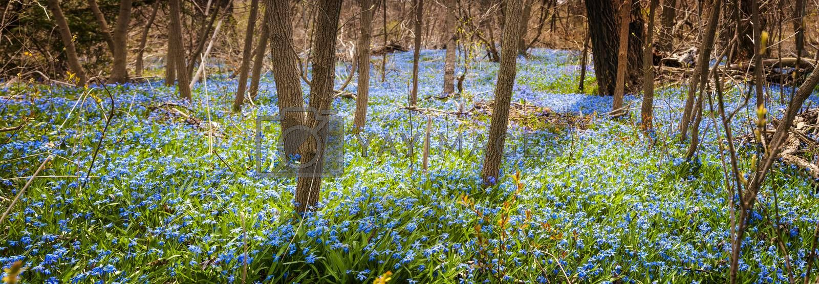 Panorama of early spring blue flowers glory-of-the-snow blooming in abundance on forest floor. Ontario, Canada.