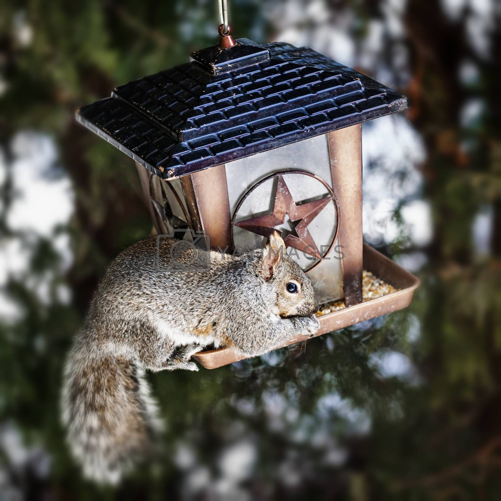 Gray squirrel sitting on bird feeder and eating seeds