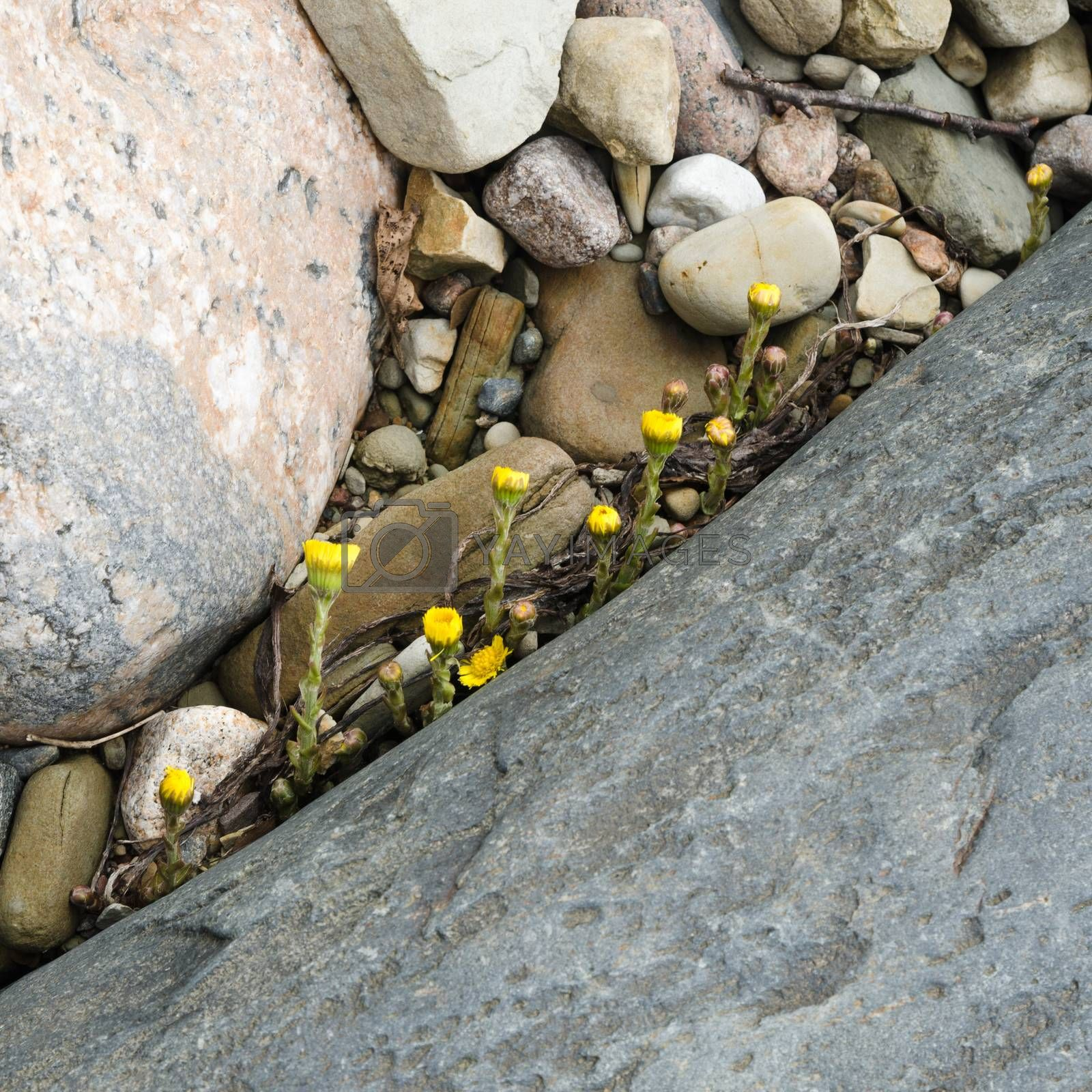 Yellow flowers sprouting in the spring among stones, close-up