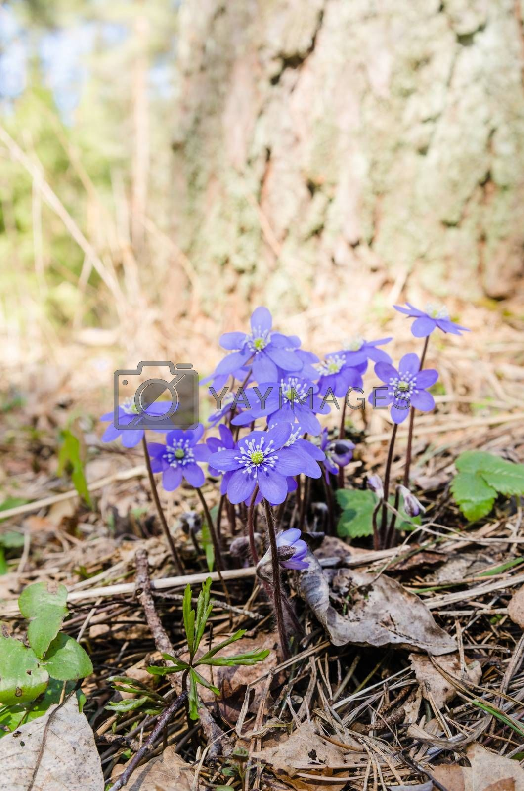 The first spring flowers in a wood, a close up