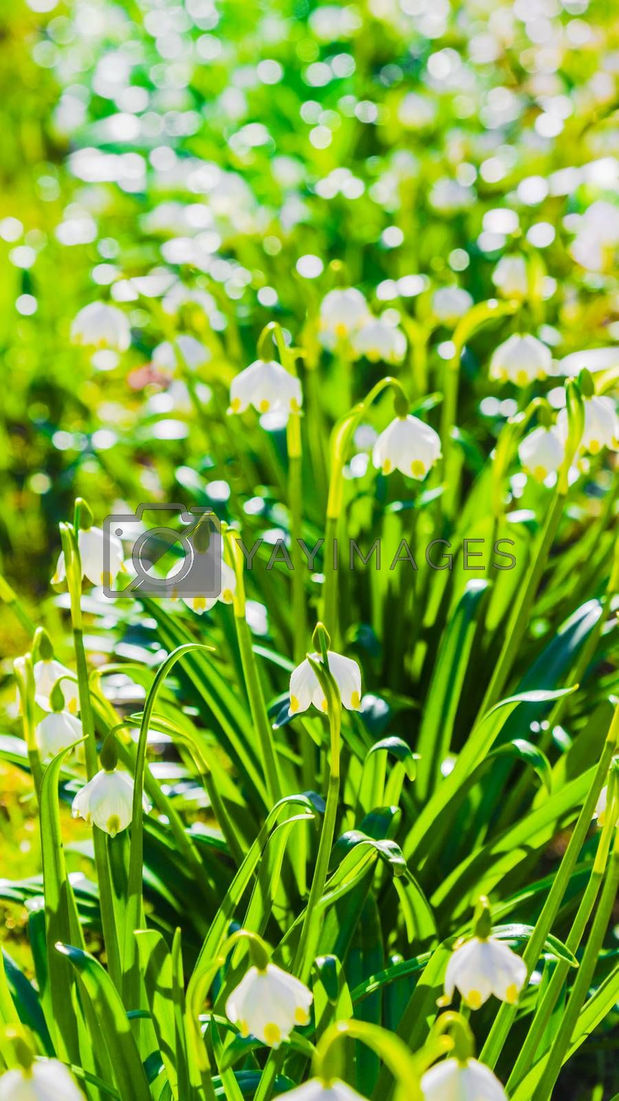 White Spring snowdrops, close-up