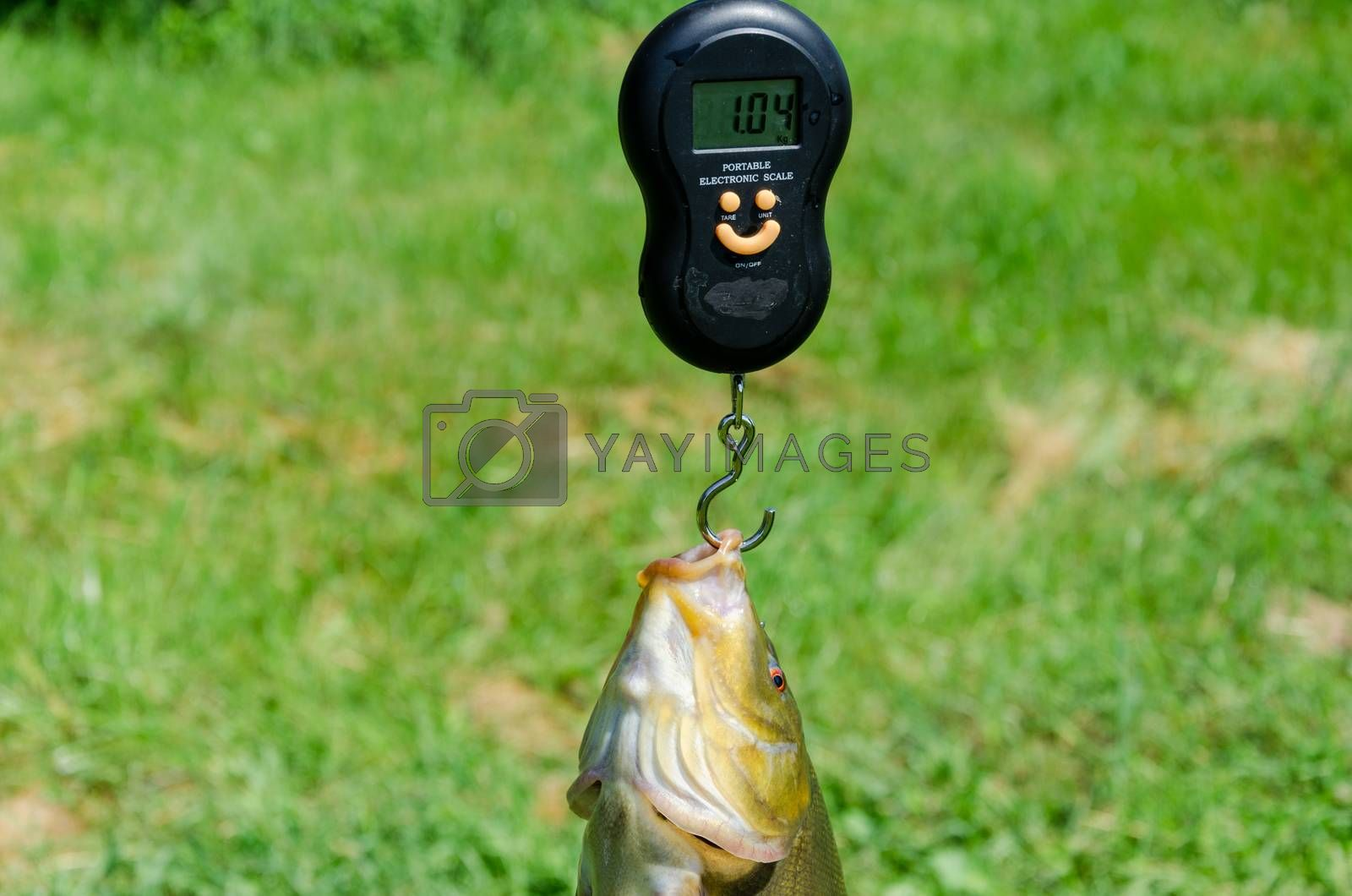 closeup big tench fish weight with scale.
