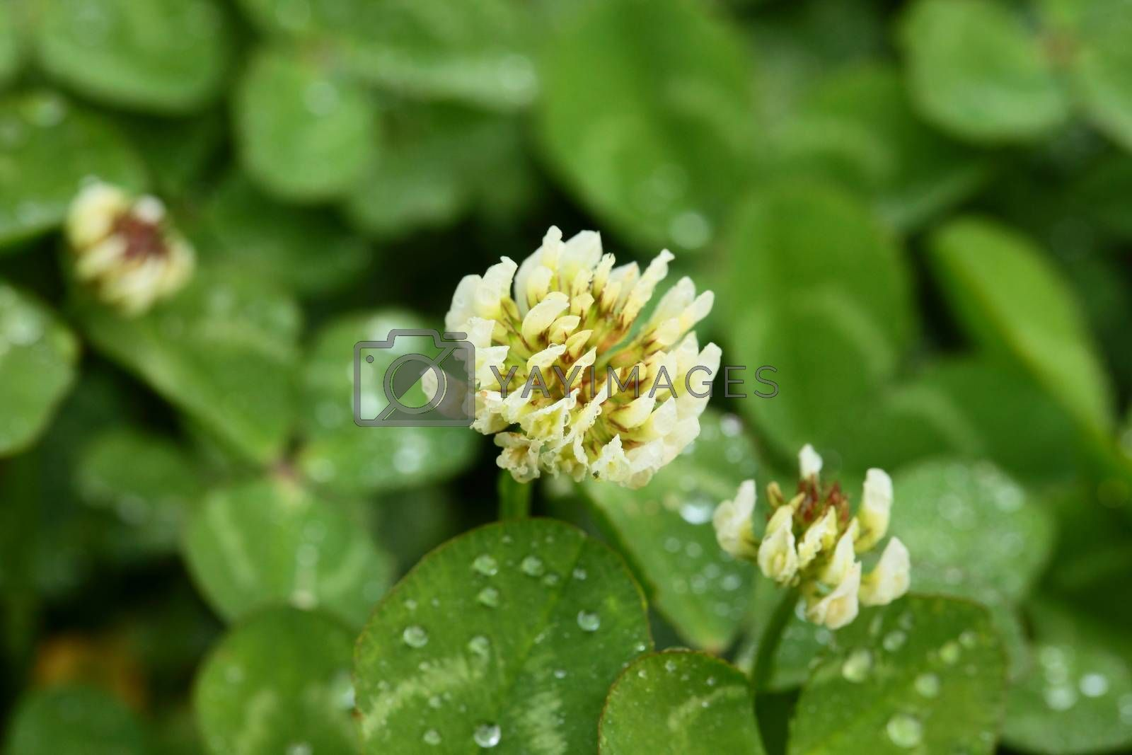 A macro shot of beautiful clover on green background
