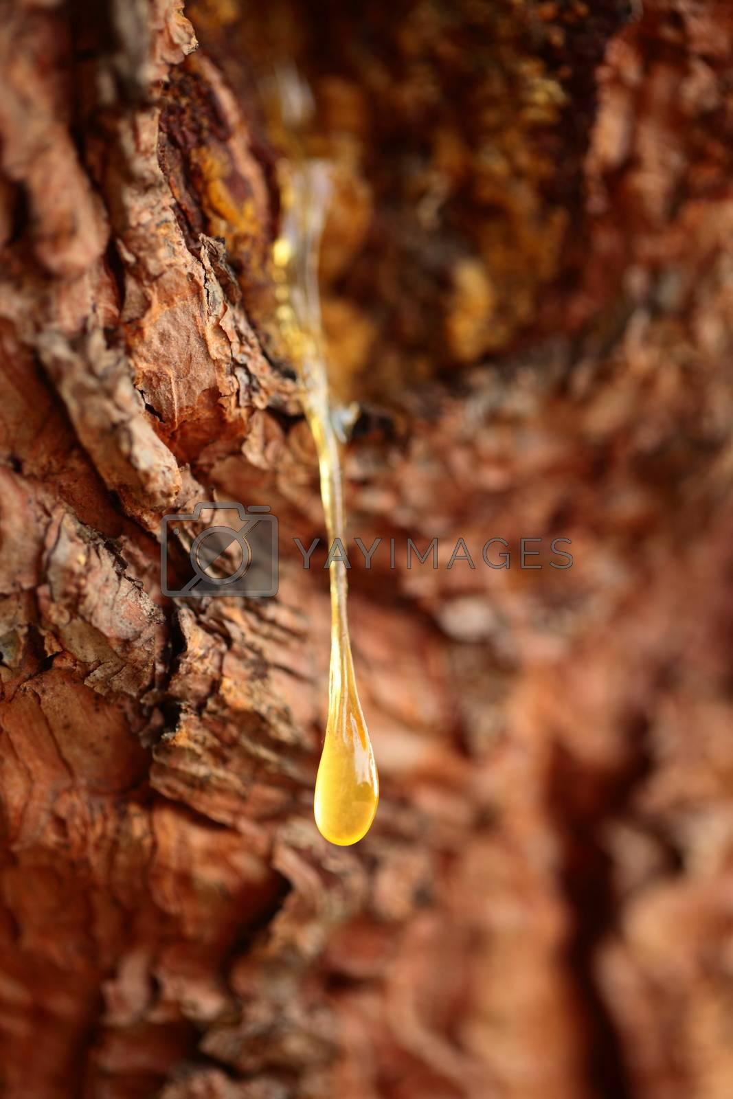 Close up of a drop of pine resin