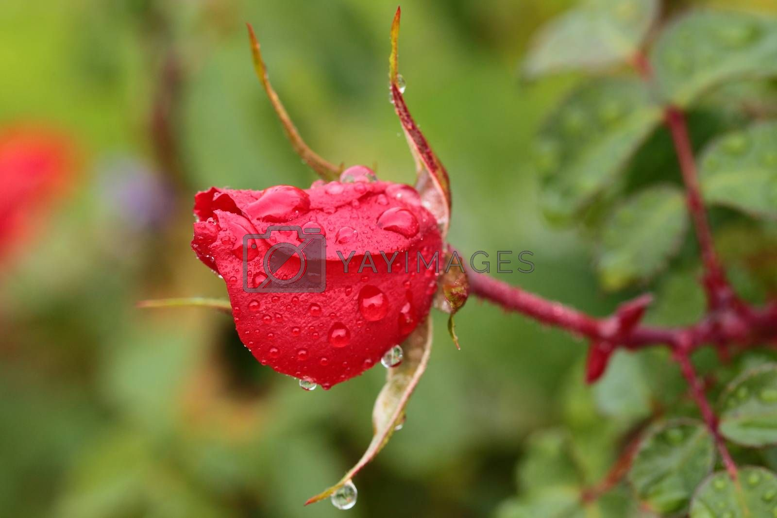 Closeup of red rose with water drops in my garden