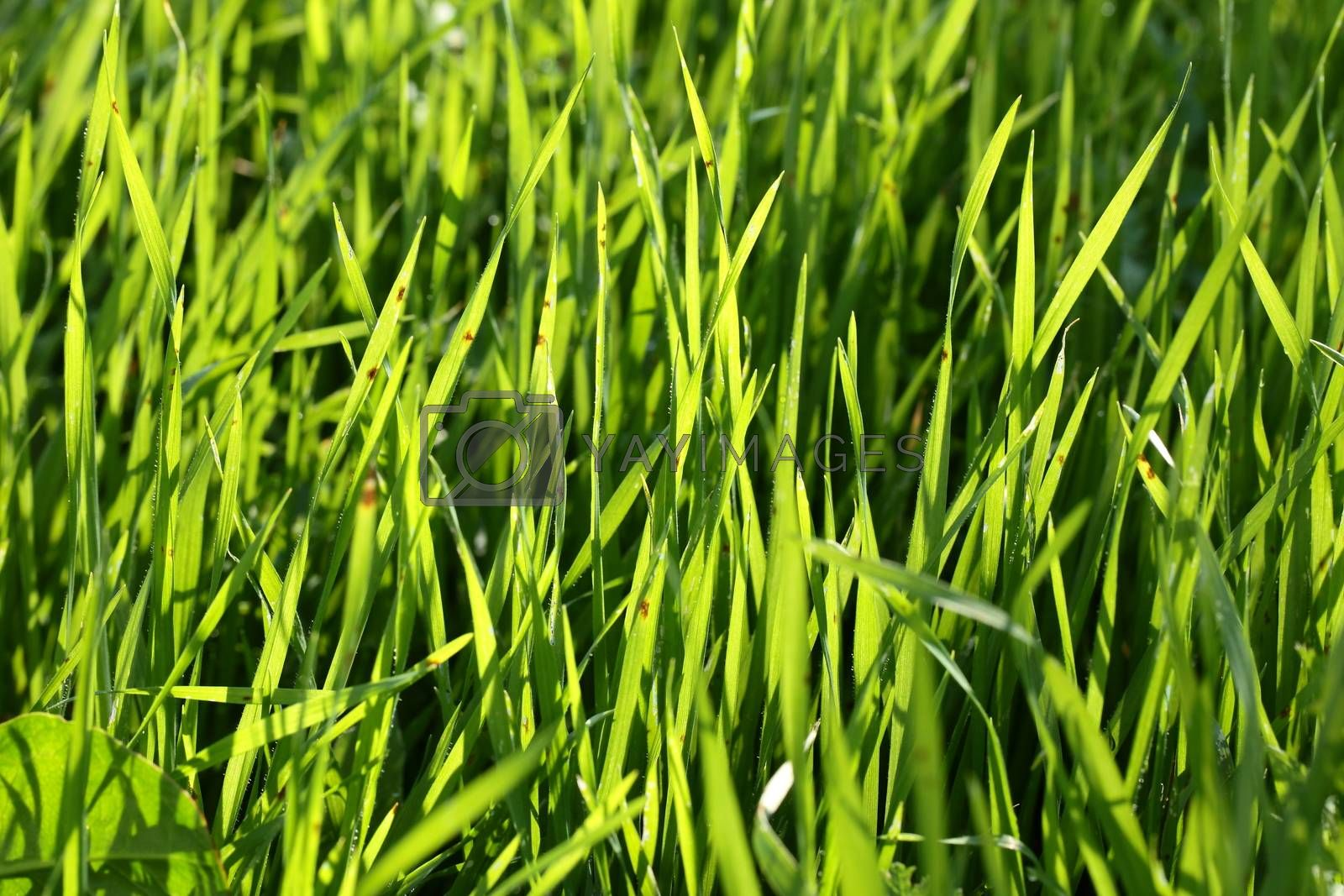 Fresh green grass with drops of water